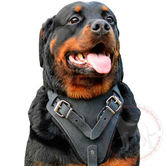 Protection/Attack/Agitation Leather Dog Harness for Rottweilers-Exclusive Harness Presentation