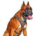 Fancy Leather Dog Harness with Goldish Studs for Boxer dog breed