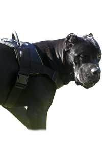 Aricles about your Cane Corso