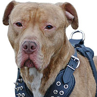 American-Pitbull-Gear-Muzzles-Harness-Collars
