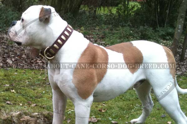 Unique Leather American Bulldog Collar