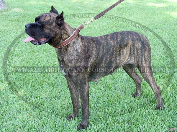 Gorgeous Wide 2 Ply Leather Choke Mastiff Collar