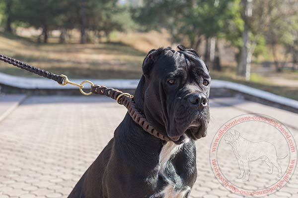 Walking leather choke collar for Cane Corso