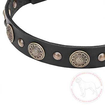 Brass conchos and studs of leather Cane Corso collar
