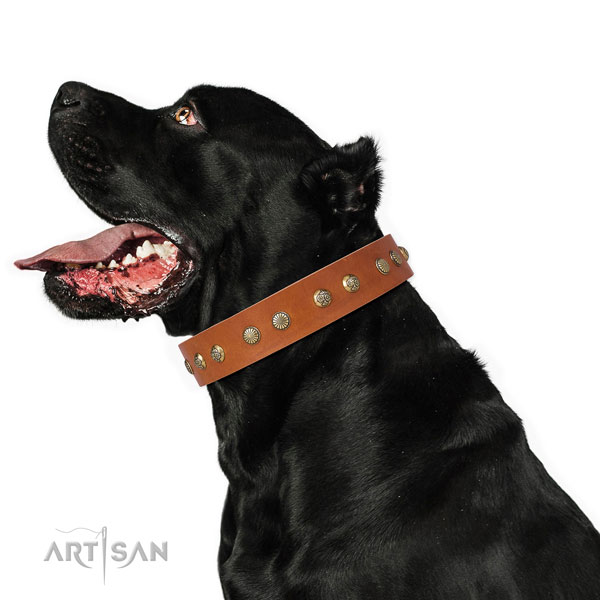 Designer studs on fancy walking leather dog collar