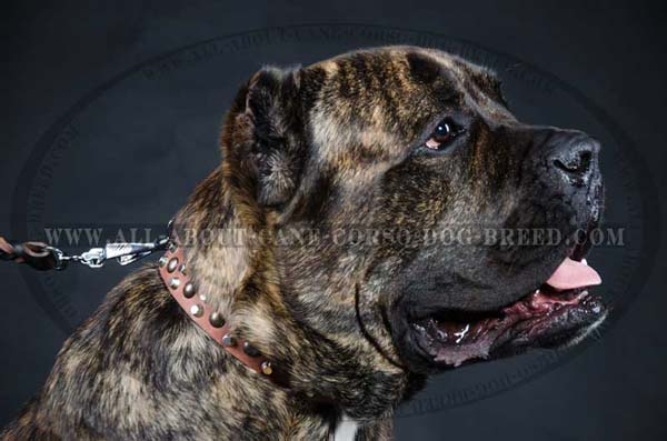 Cane Corso leather dog collar with studs and pyramids decoration