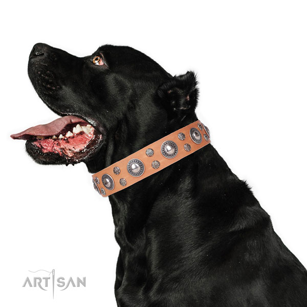 Cane Corso extraordinary full grain natural leather dog collar for comfy wearing