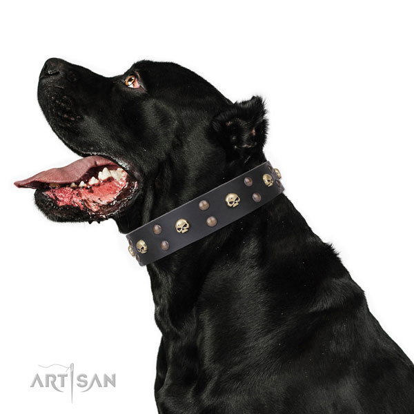 Cane Corso comfortable leather dog collar for comfy wearing