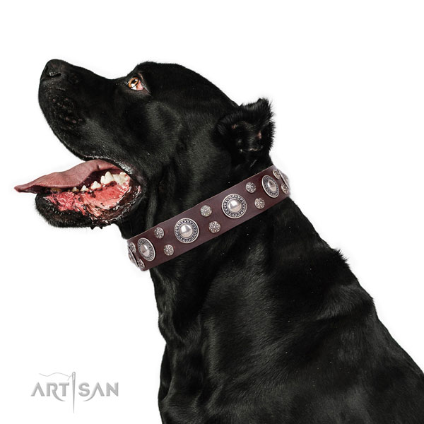 Cane Corso convenient full grain leather dog collar for comfy wearing