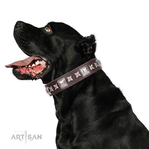 Cane Corso extraordinary genuine leather dog collar for stylish walking