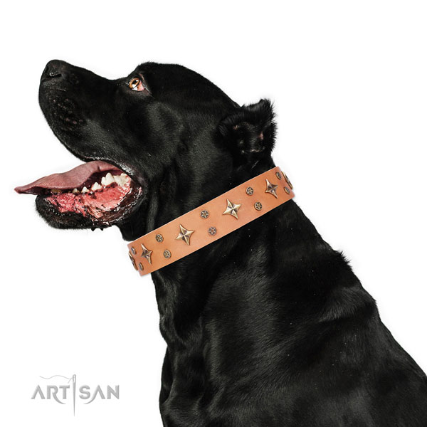 Cane Corso adorned full grain natural leather dog collar for comfy wearing