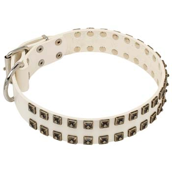 Cane corso white leather collar with nickel plated hardware