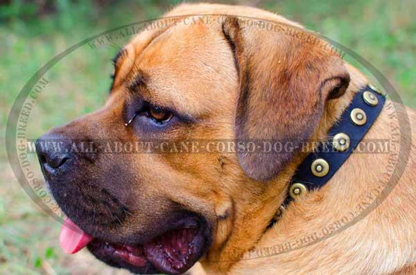 Studded with Brass Circles Leather Collar for Cane Corso