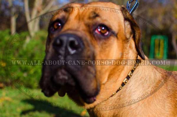 Fashion Leather Collar for Cane Corso