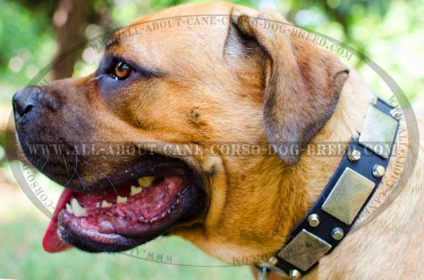Leather Collar for Walking Cane Corso