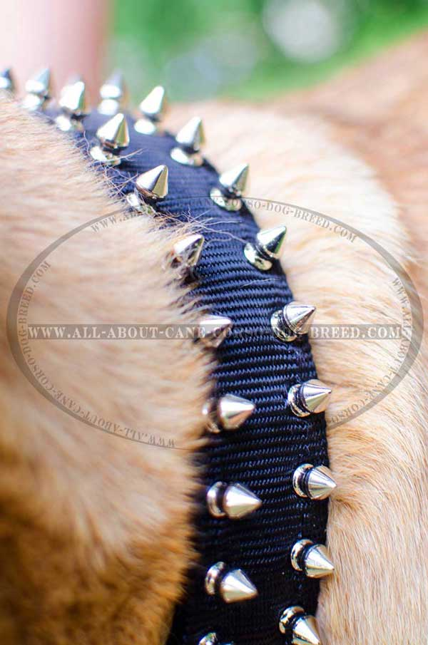 Daily Walking Collar for Cane Corso