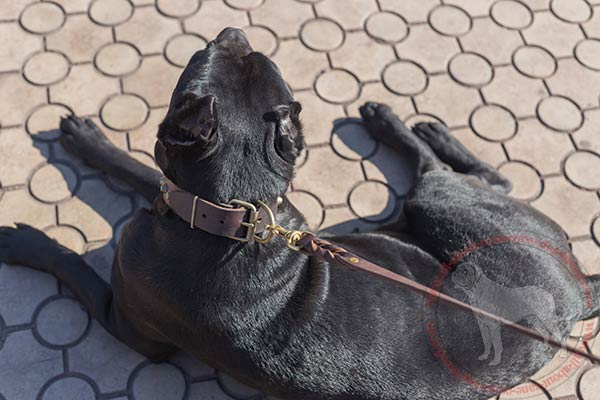Comfortable leather dog collar for Cane Corso with brass hardware