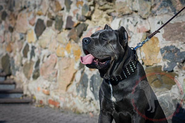 Leather Cane Corso collar with nickel plated spikes and studs