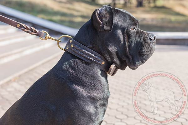 Stylish braided leather Cane Corso collar