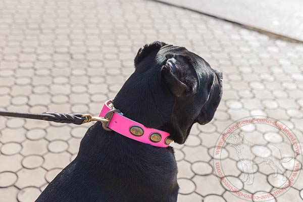 Decorated leather Cane Corso collar with rust-resistant plates