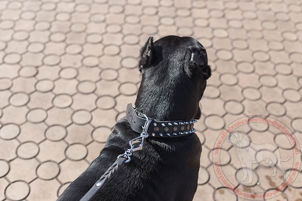 Leather Cane Corso collar with nickel covered buckle and D-ring