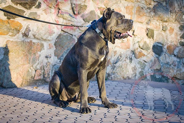 Leather Cane Corso collar with engraved-on-edges nickel plates