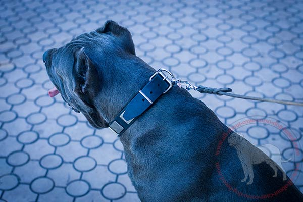 Reliable leather Cane Corso collar with chrome plated fittings