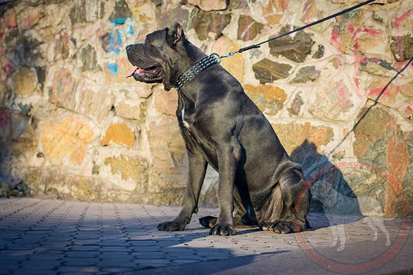 Leather Cane Corso collar with rust-proof parts