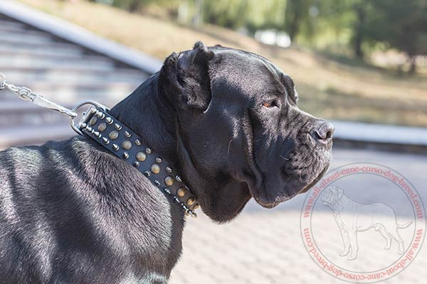 Leather Cane Corso collar with spikes and studs