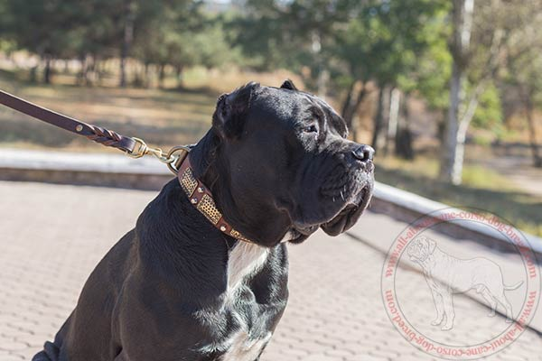 Leather Cane Corso Collar with vintage plates