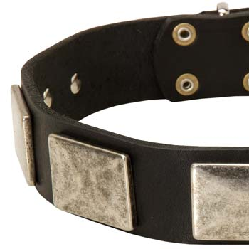 Cane Corso dog collar with nickel plates adornment