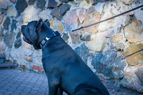 Adorned leather dog collar with massive plates on Cane Corso