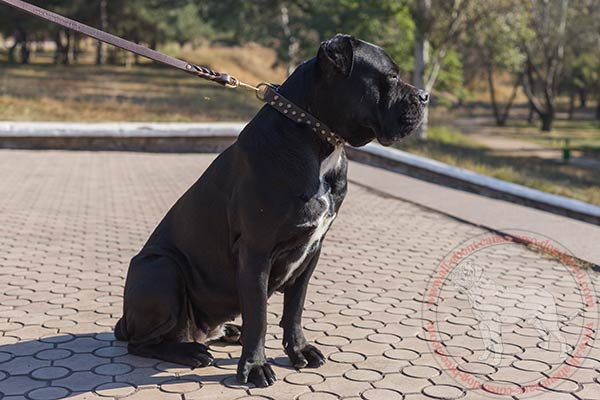 Designer leather dog collar for Cane Corso