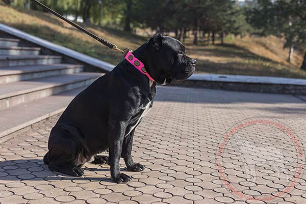 Leather dog collar for Cane Corso walking