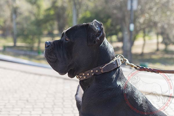 Leather dog collar for Cane Corso with 3 rows of pyramids