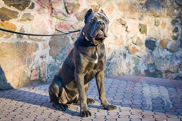 Leather dog collar for Cane Corso with engraved plates