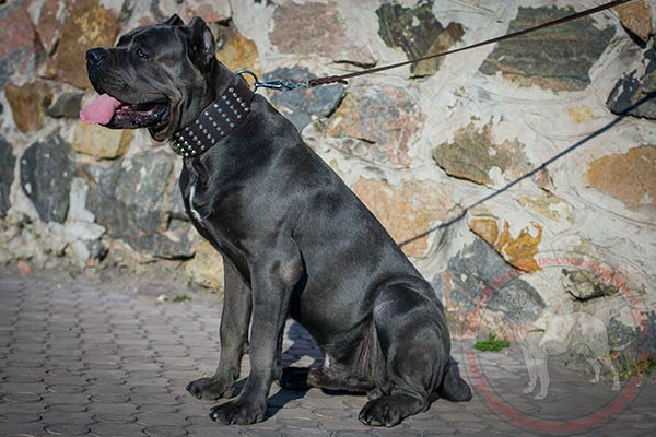 Designer leather dog collar for Mastiff
