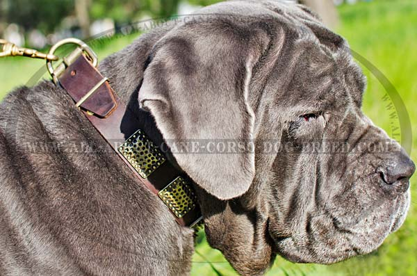 Designer Leather Canine Collar for Mastino Napoletano  Breed with Plates