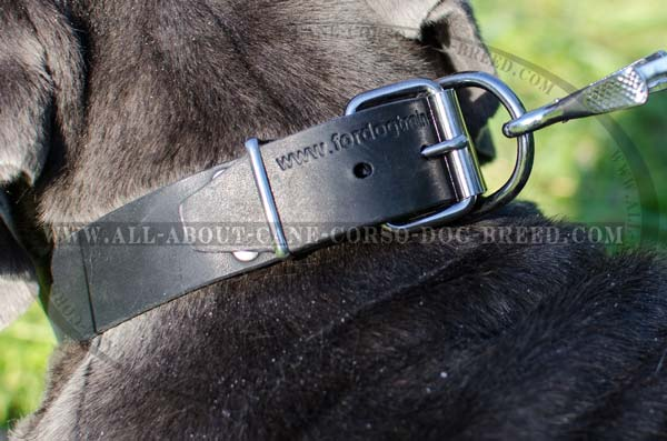 Custom Leather Dog Collar for Mastino Napoletano's  Training, Walking