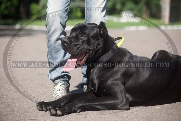 Perfect looking nylon collar for Cane Corso