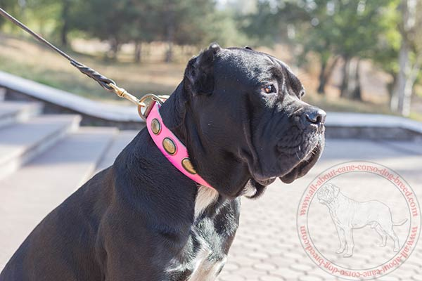 Leather Cane Corso collar with brass covered plates