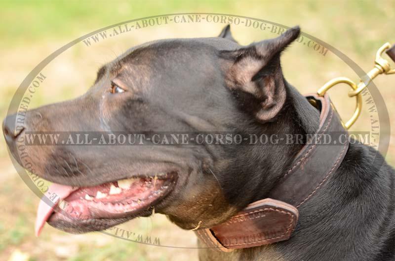 Best Dog Collars For Pitbulls