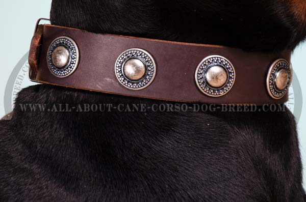 Wide walking dog collar with conchos adornment