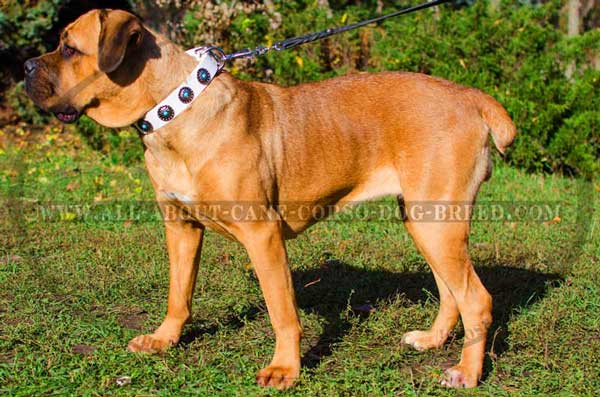 Cane Corso leather decorated equipment