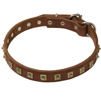 Luxurious leather collar with brss studd for Cane Corso