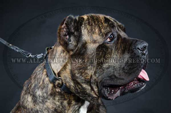 Choke dog collar for Cane Corso