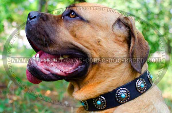 Cane Corso collar leather boasting of great adornment
