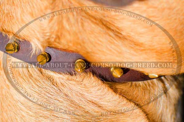 Proportional brass gold-like spikes on dog gear