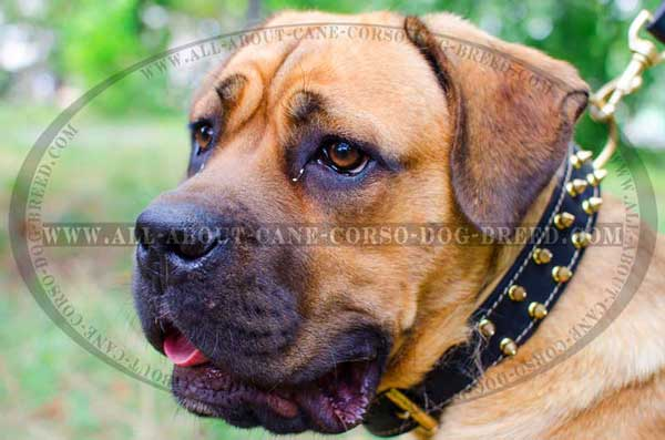 Cane Corso collar leather lined with Nappa leather