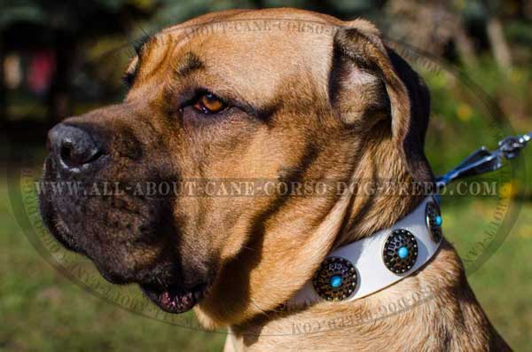 Cane Corso collar for stylish canines
